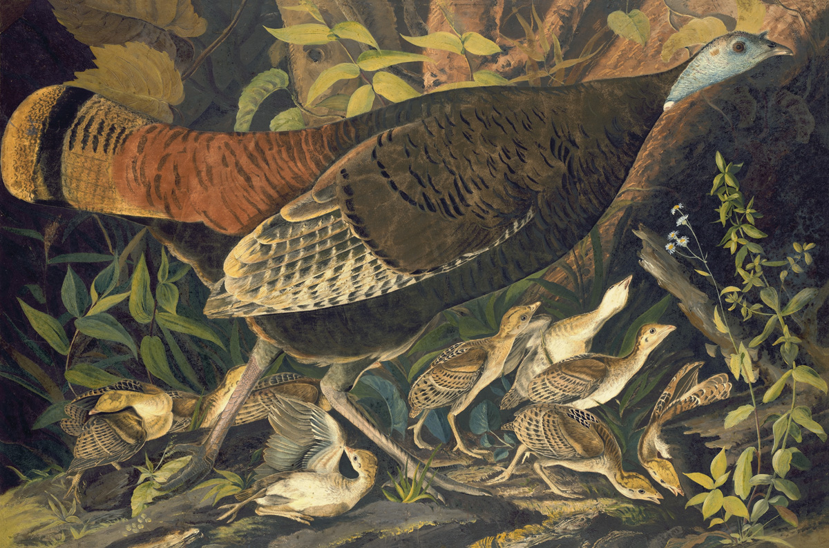 John James Audubon (1785-1851) Wild Turkey (Meleagris gallopavo), Study for Havell pl. 6, 1820 Pastel, watercolor, oil, graphite, and black ink on paper, laid on card; 25 1/2 x 38 15/16 in. (64.8 x 98.9 cm). Purchased for the New-York Historical Society by public subscription from Mrs. John J. Audubon, 1863.17.6)