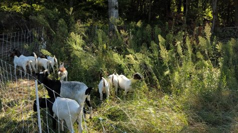 Minnesota company uses goats to clear out weeds and help farmers avoid chemicals