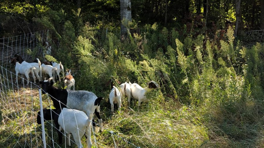 Minnesota+company+uses+goats+to+clear+out+weeds+and+help+farmers+avoid+chemicals