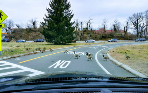 Snapshot: Geese have right of way on Hutch ramp