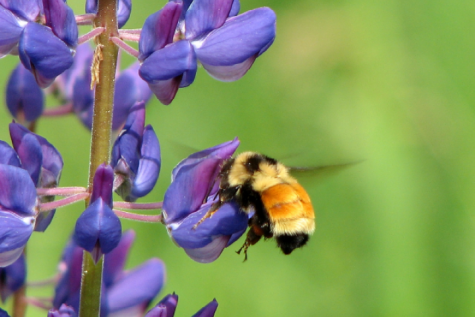Proposed NYS bills serve to protect honey bees, other pollinators