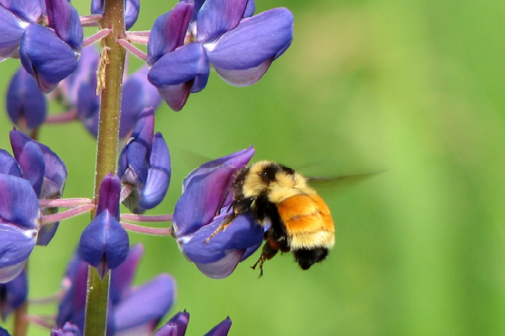 Proposed+NYS+bills+serve+to+protect+honey+bees%2C+other+pollinators